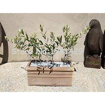 Bag Olive Bonsai